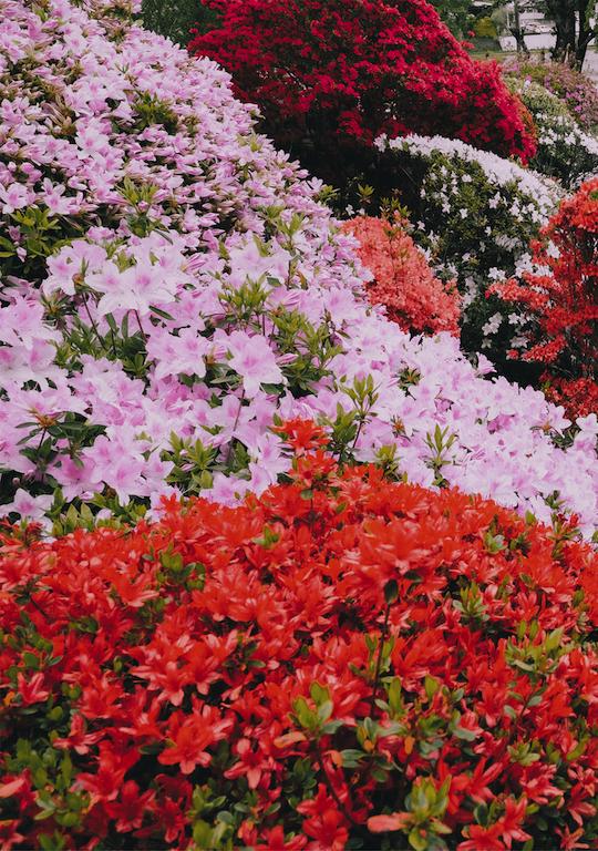 つつじ園の写真_2